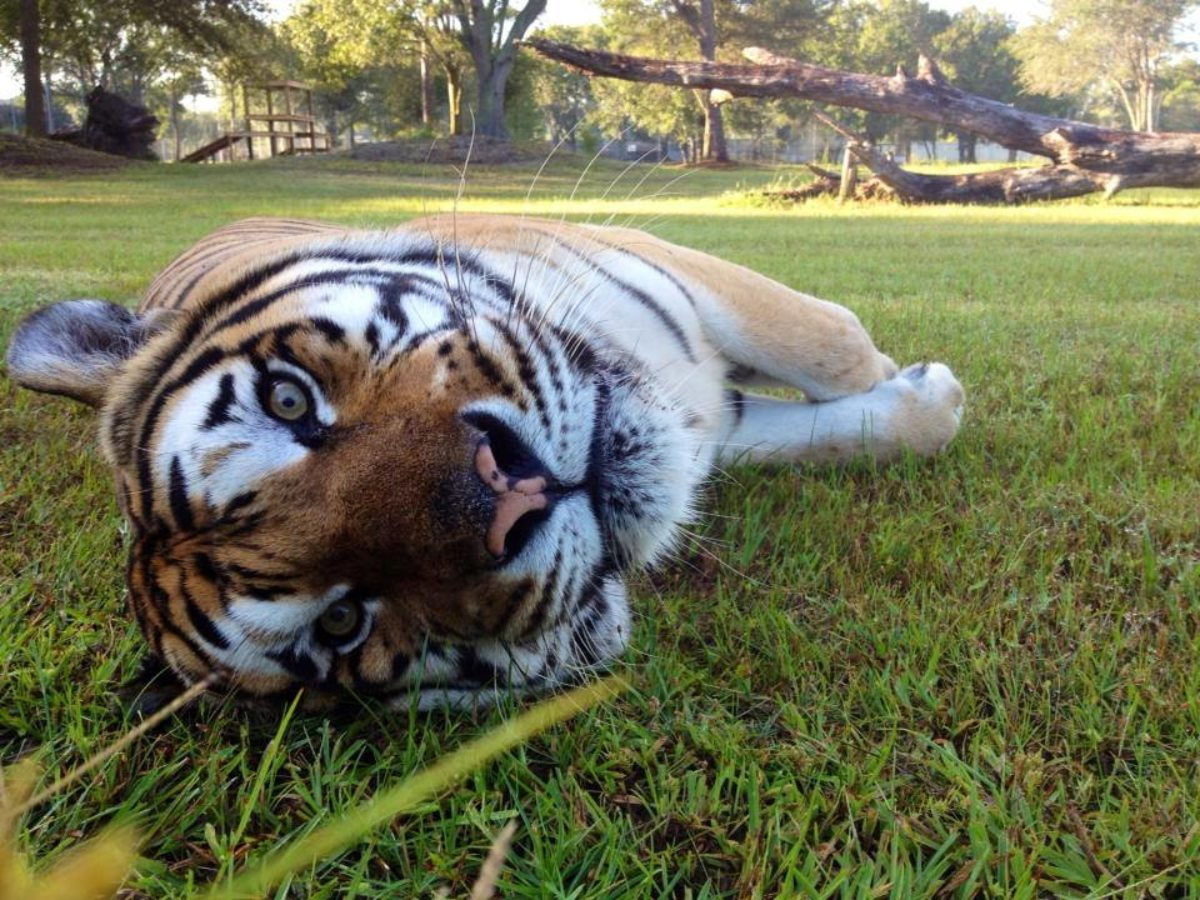 Carole Baskin Has Access to Tigers and Other Vicious Animals